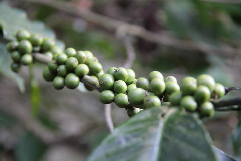 Fresh peppercorns on vines in Thekkady, Kerala