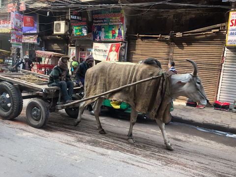 Ox Cart at Delhi Spice Market
