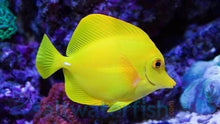 Load image into Gallery viewer, Yellow Tang