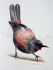 Tieke / Saddleback