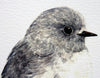 Toutouwai / South Island Robin