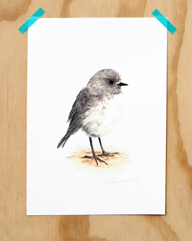 Toutouwai / South Is Robin
