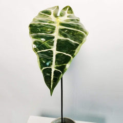Alocasia Leaf Varigated Foliage