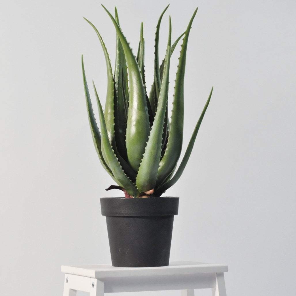 Aloe 66cm Shrubs and Grasses