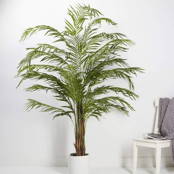 Areca Palm Tree 2.45m tall Trees
