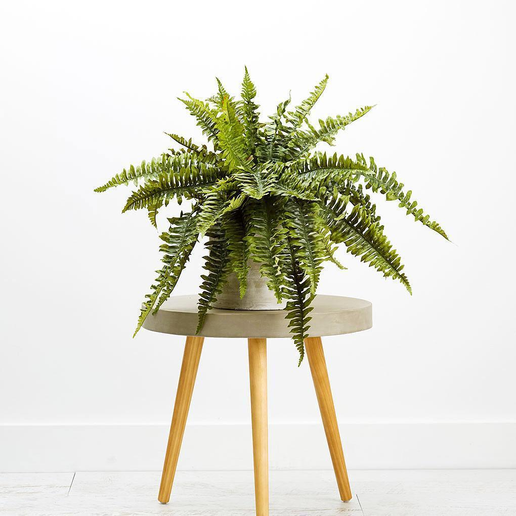 Boston Fern 48cm Foliage