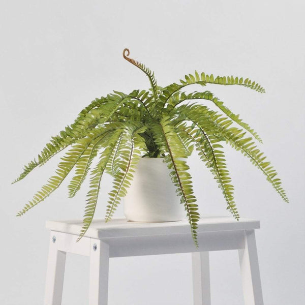 Boston Fern 50cm Foliage