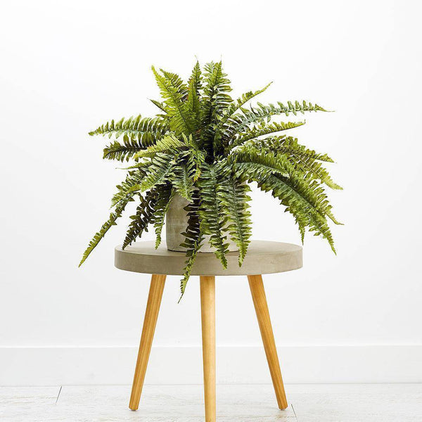 Boston Fern 55cm Foliage