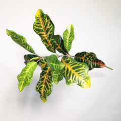 Croton Stem Foliage