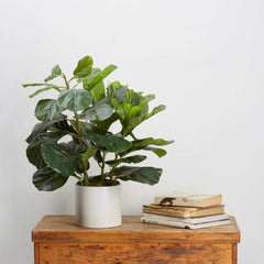 Fiddle Leaf 70cm Trees