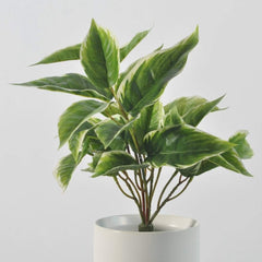 Hosta White Edge Foliage