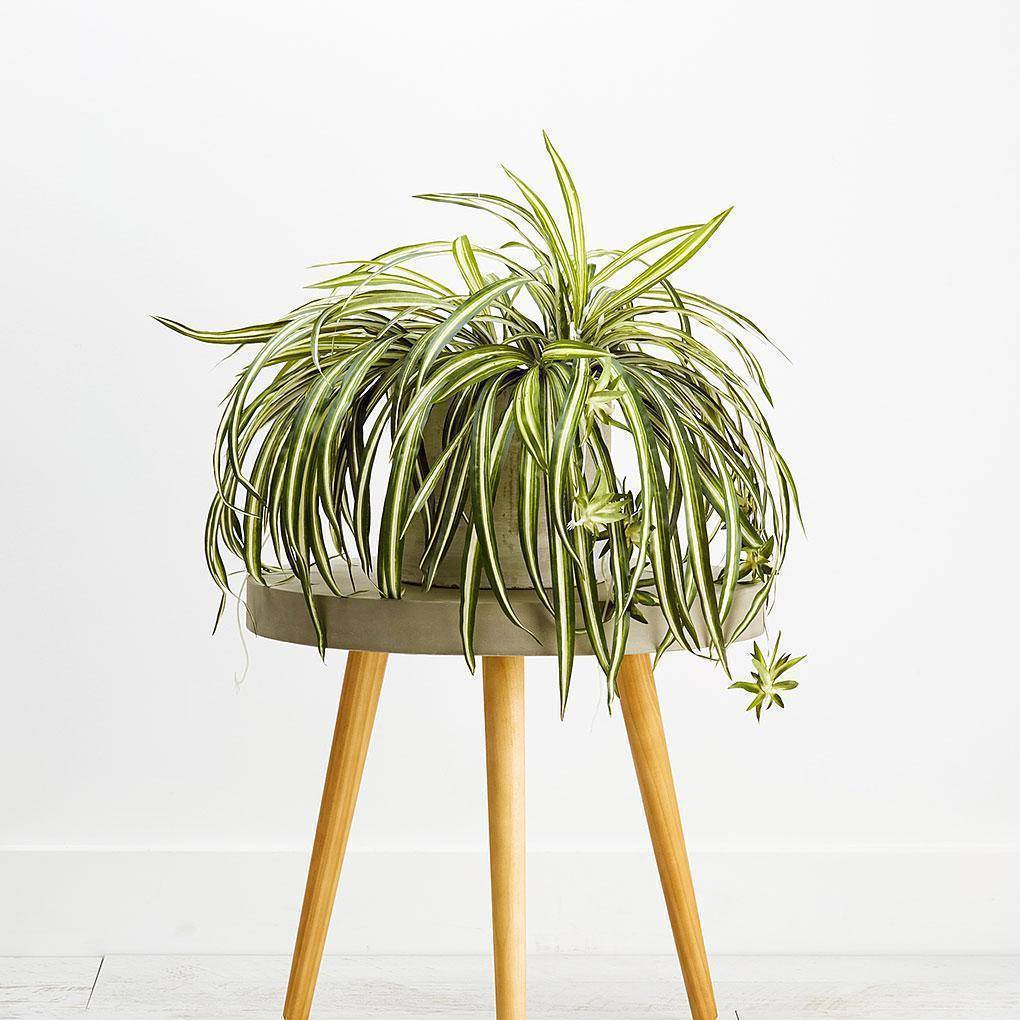 Large Spider plant Foliage