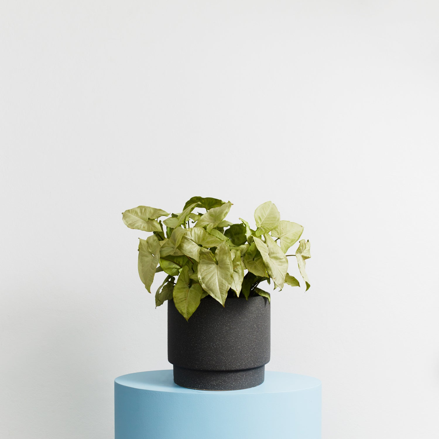 Potted Plant | Thank You Flowers | Order Online in Sydney