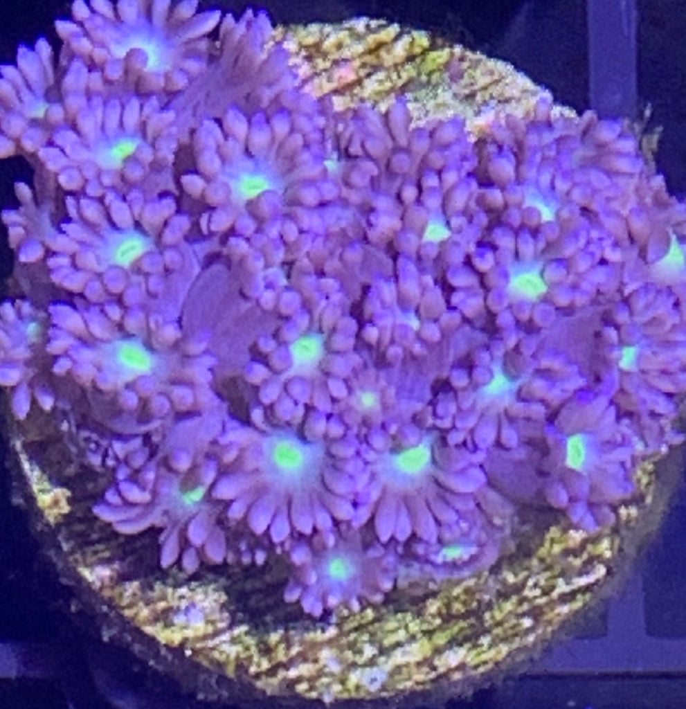 Purple Gonipora Frag