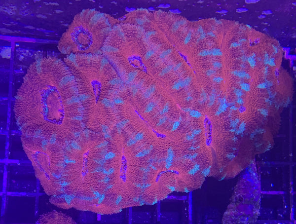 Acan Colony