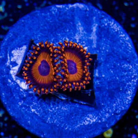 Orange Oxide Zoanthid Frag (2-3 polyps)