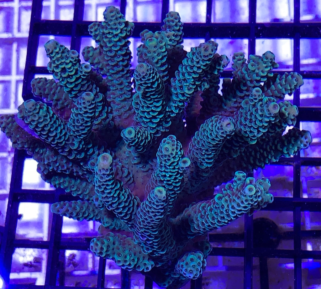 Acropora Millepora Colony - Medium