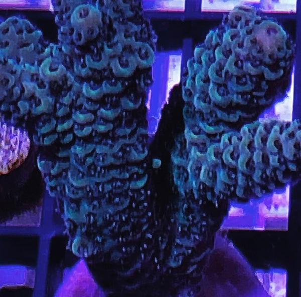 Acropora Millepora Frags