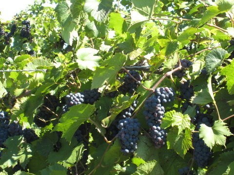 Grape Vine - Frontenac