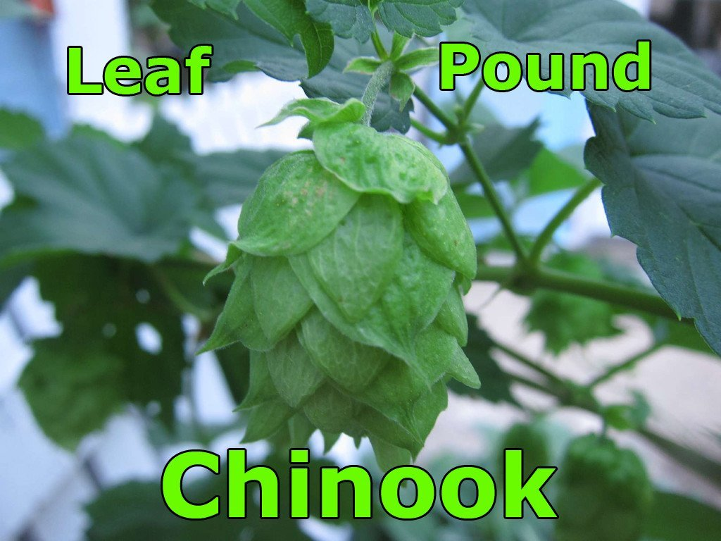 Hops - Chinook Leaf Hops 1 LB (US)