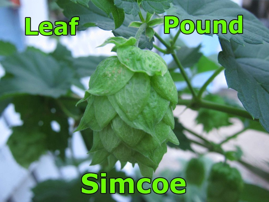 Hops - Simcoe Leaf Hops 1 LB (US)