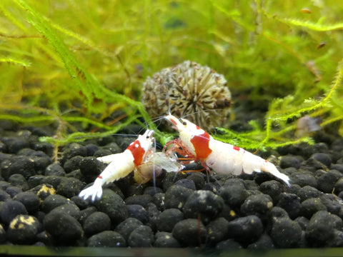 Red Crystal Shrimp (5)