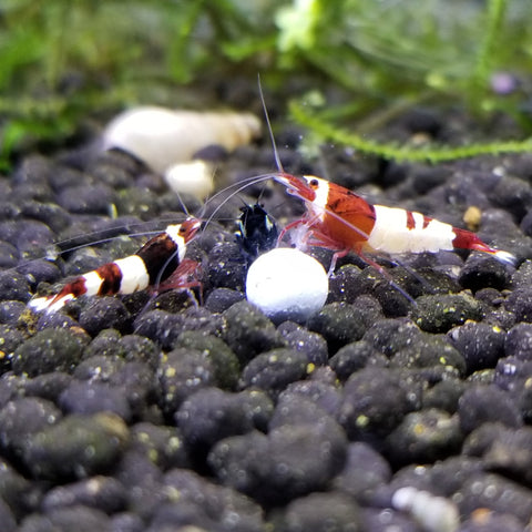 Red Panda Shrimp (5)