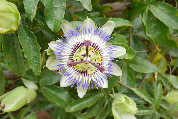 Passionflower for Irritability, Relaxation and a Deeper Sleep