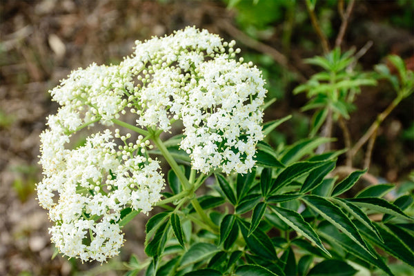 Valerian Root for Better Sleep, Less Anxiety, Weight Loss and Hormone Balancing