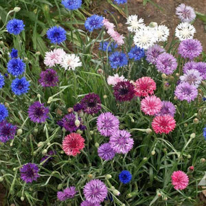 Cornflower Fairylights Seedboms 🌸