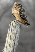 Load image into Gallery viewer, photo of an owl on a wooden post