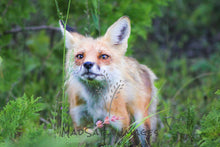 Load image into Gallery viewer, photo of a fox walking through grass and flowers