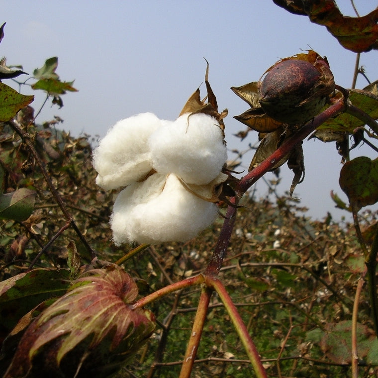 Why we should all be buying Organic Cotton NOW
