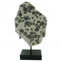 Fossil Ammonite Cluster in Matrix with Stand