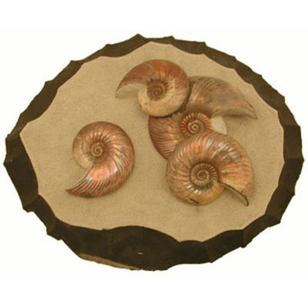 Fossil Ammonite from England With Stand