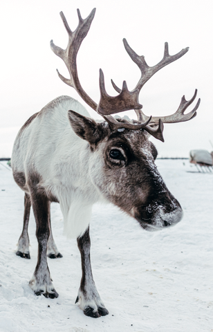 NEW: Winter reindeer cards