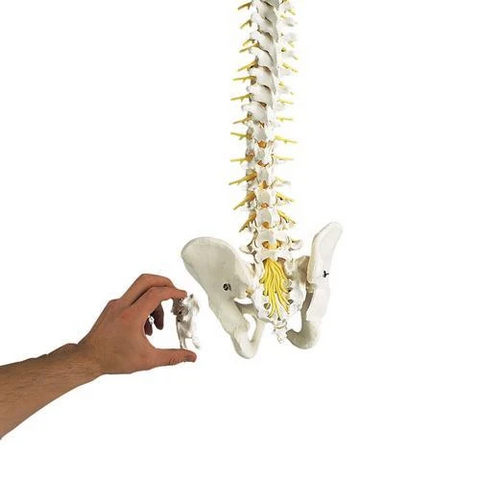 Deluxe Flexible Spine Model