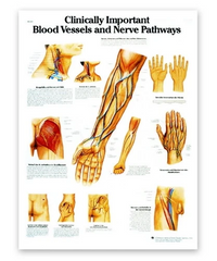 Blood Vessel & Nerve Path Anatomy Chart