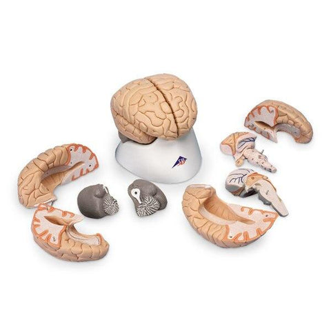 Brain Model | 8-Part - Shop | LivCor Australia