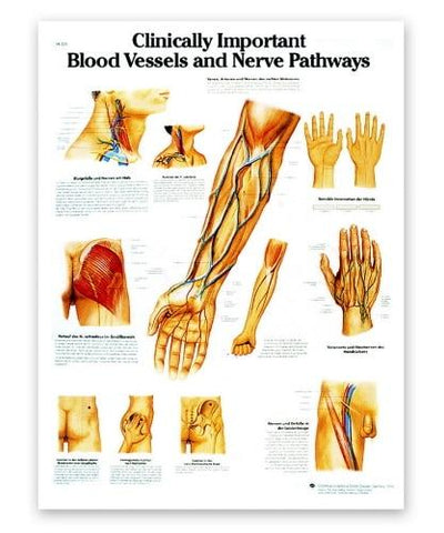 Clinically Important Blood Vessels and Nerve Pathways Anatomical Chart - Shop | LivCor Australia