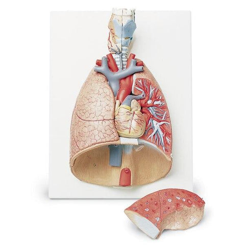 Deluxe 7-Part Lung Model with Larynx - Shop | LivCor Australia