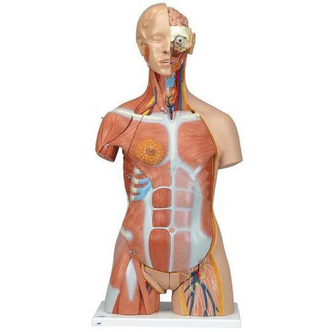 Deluxe Dual Sex Muscle Torso | 31-Part - Shop | LivCor Australia