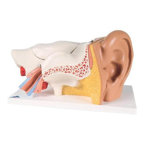 Ear Model: 3 times life size | 6-Part - Shop | LivCor Australia