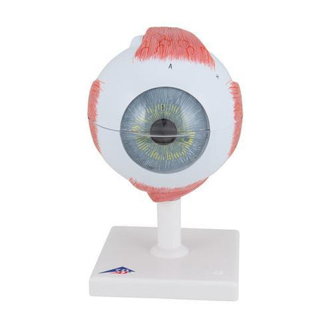 Eye Model | 5x Full-Size | 6-Part - Shop | LivCor Australia