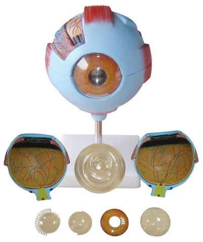 Giant Eye Model - Shop | LivCor Australia