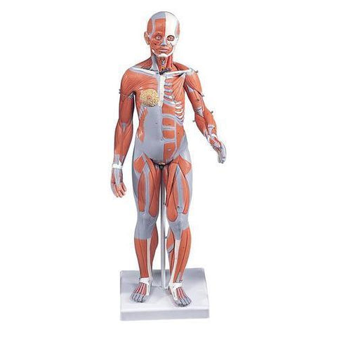 Half Life-Size Complete Female Muscular Figure Without Internal Organs | 21-Part - Shop | LivCor Australia