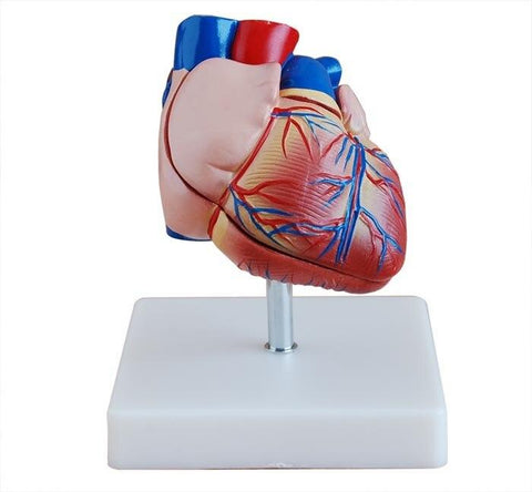 Heart Model | Life-Size - Shop | LivCor Australia