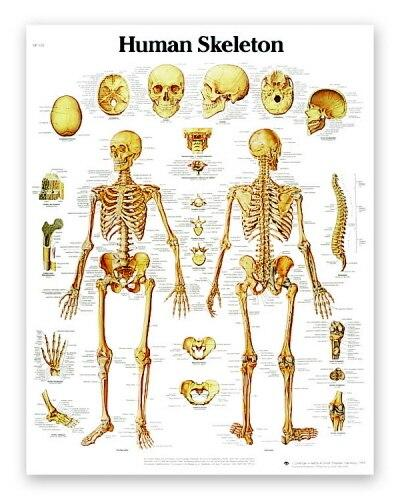 Human Skeleton Anatomical Chart - Shop | LivCor Australia