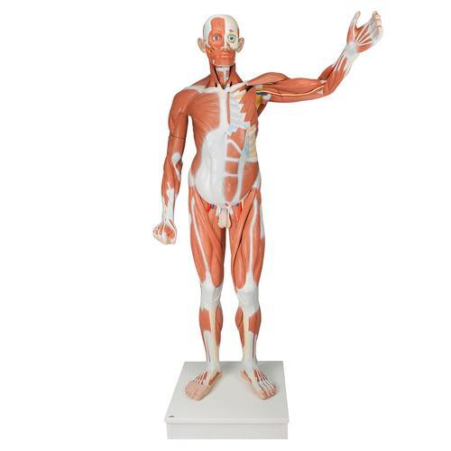 Life size Male Muscular Figure | 37-Part - Shop | LivCor Australia