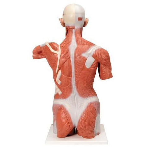 Life size Muscle Torso Model | 27-Part - Shop | LivCor Australia